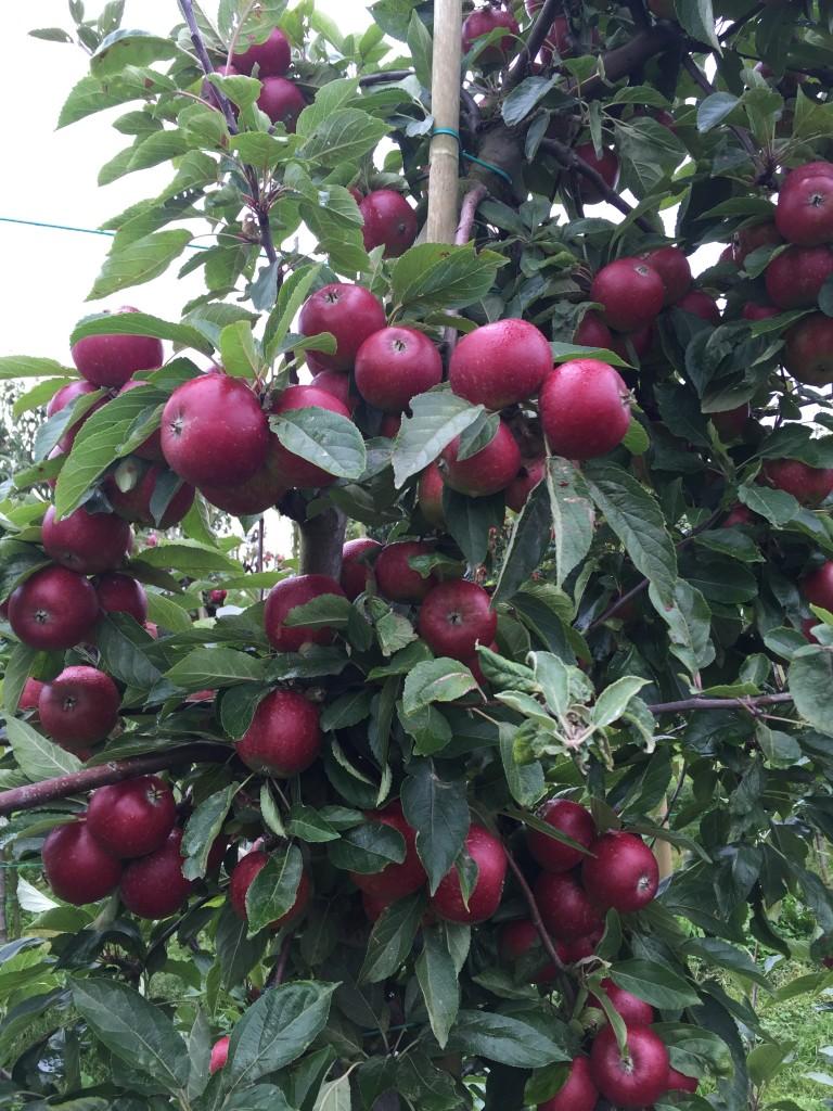 Äpplen Glorias Äppelgård